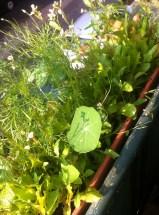 Salat- und Blüten- Balkonkasten 2014