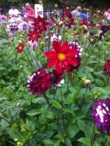 Dahlienpracht in der Kölner Flora3