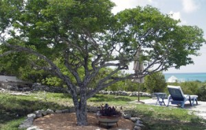 Figure 1: Lignum Vitae tree is a caribbean species that is now endangered.