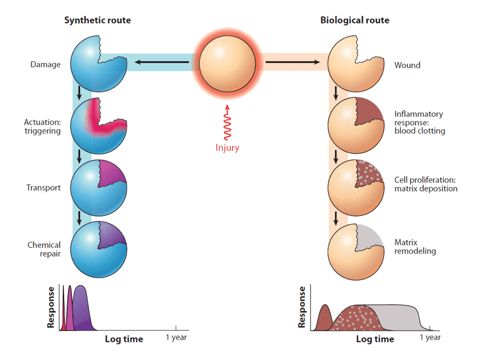 Fig.1: Synthetic and biological routes to healing [3].