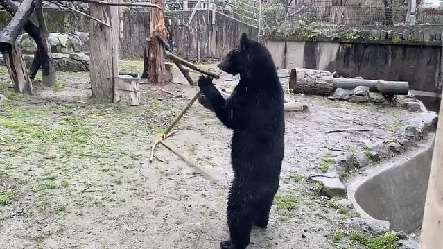 【武術】中にヒトが入っているとしか思えない 三節棍を見事に操るツキノワグマが仙台にいた