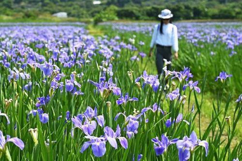 琉球新報「オクラレルカがたくさん咲いています」 → 見物客殺到 → 役場「おいバカやめろ…」