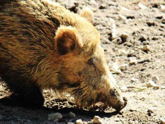 Wildschwein im Gehege