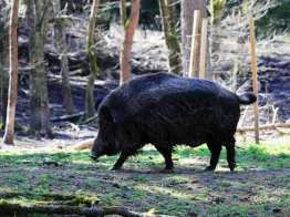 Keiler im Wildschweingehege