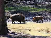 Wildschweine im Wildgehege