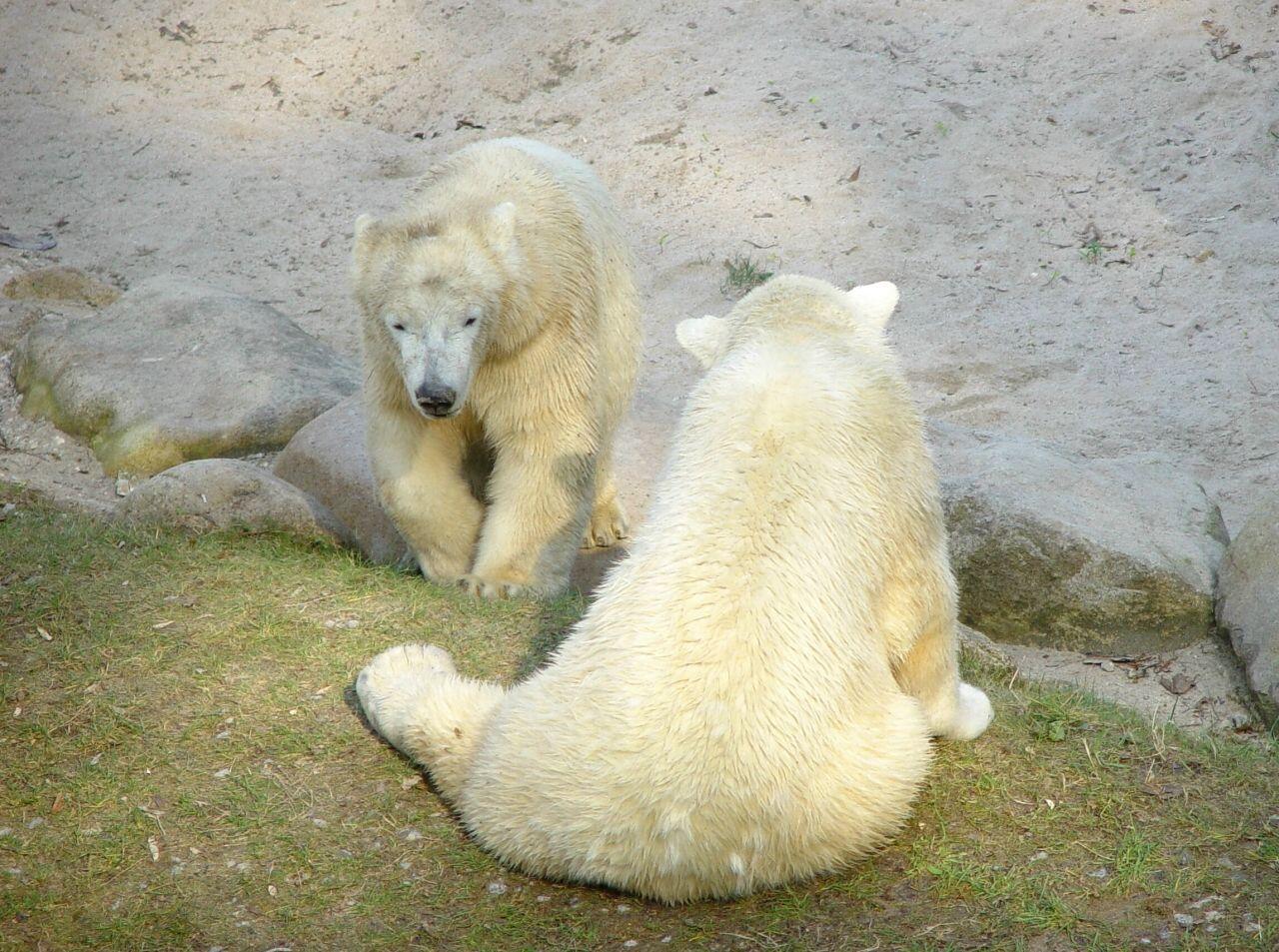 どの動物園でもシロクマは人気です、カールスルーエ動物園 © Matsuda Masahiro
