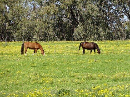 草を食べる馬