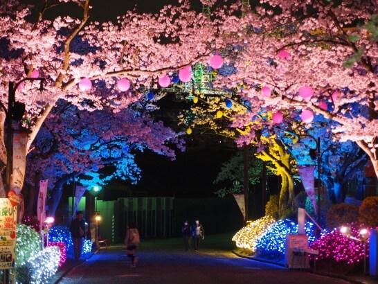 よみうりランドの夜桜