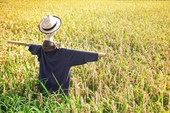 カカシと畑