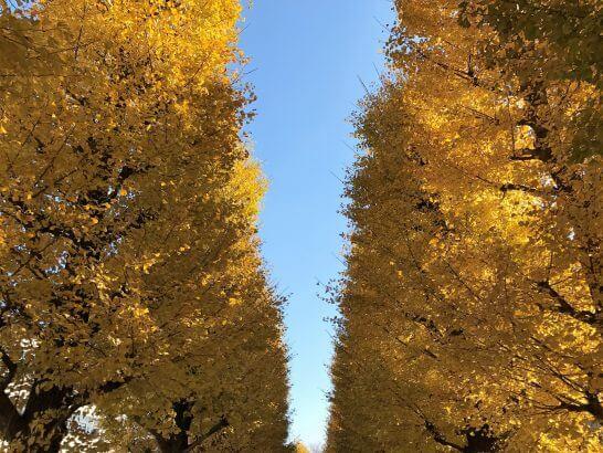 秋の紅葉(いちょう)