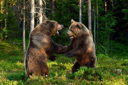 戦う2匹の熊
