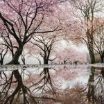桜の木と池