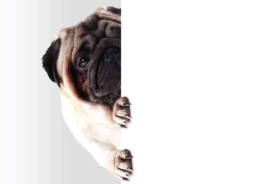 壁から視線を送る犬・ブルドッグ