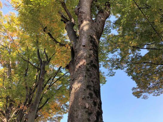 紅葉になりかけの木と快晴の青空