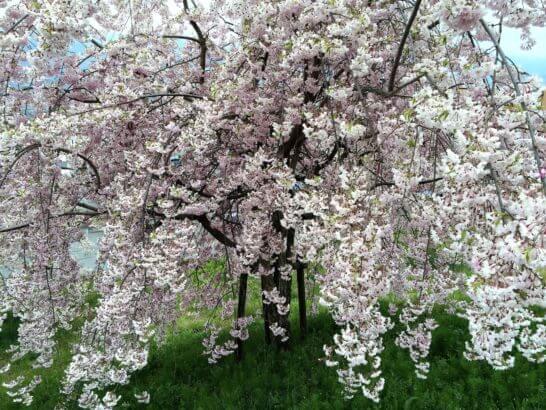 フルーツパーク公園の桜