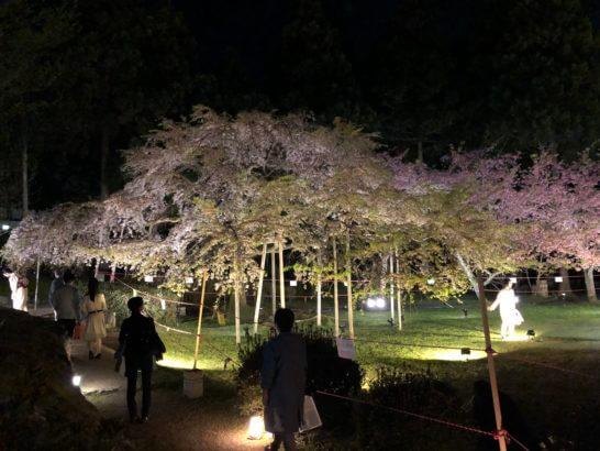 醍醐寺の醍醐寺の憲深林苑の桜