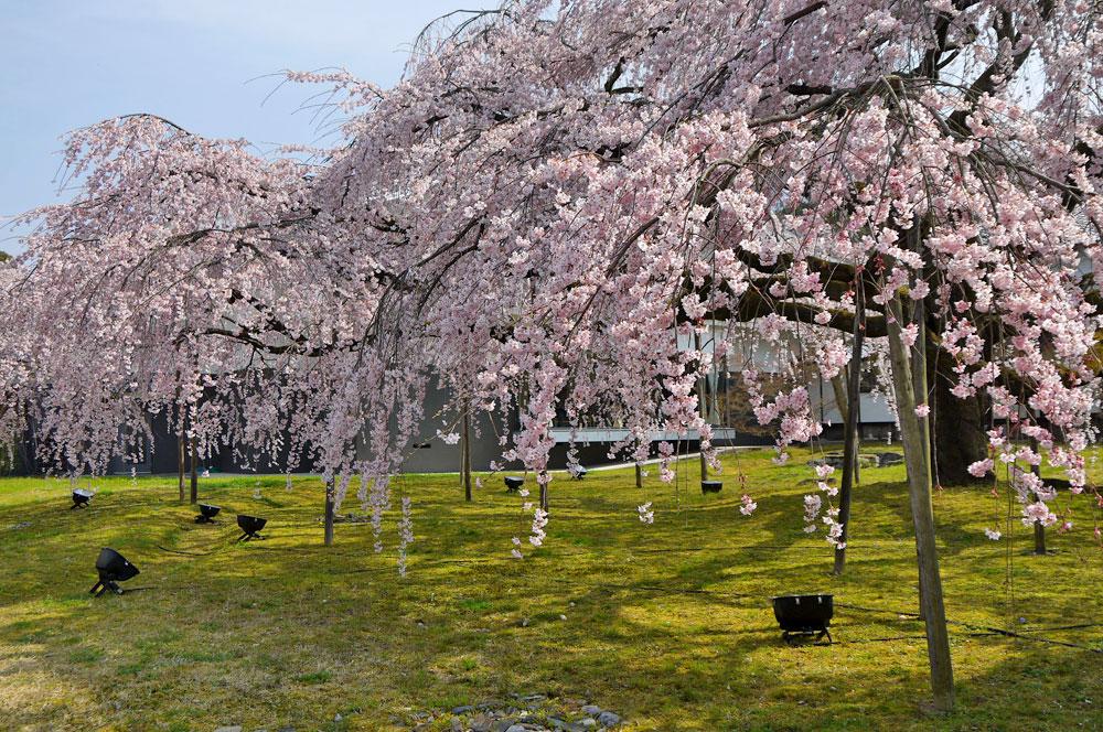 醍醐寺桜3