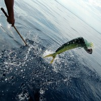シイラの釣り方 釣りが初めての人用