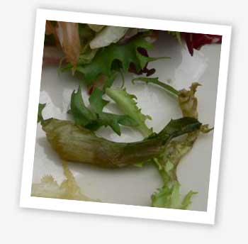 Slippery lettuce