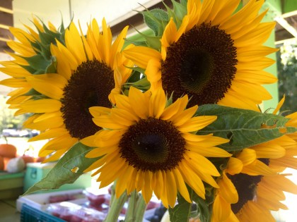 sunflowers- $4/bundle Local Farmstead- Acushnet Rd Mattapoisett
