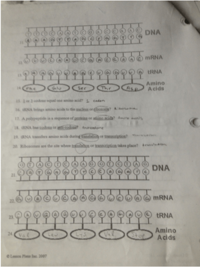 Enzymes Dna And Protein Synthesis