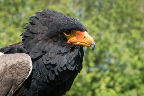 Nugget Female Bateleur Eagle