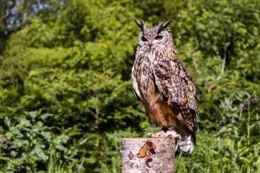 Bazil Male Bengal Eagle Owl