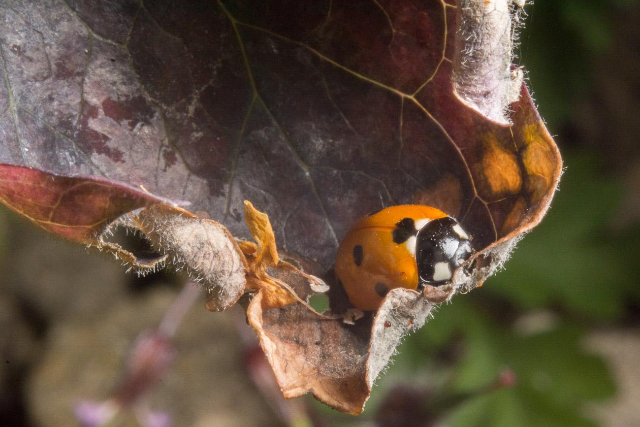 Coccinella septempunctata, the seven-spot ladybird