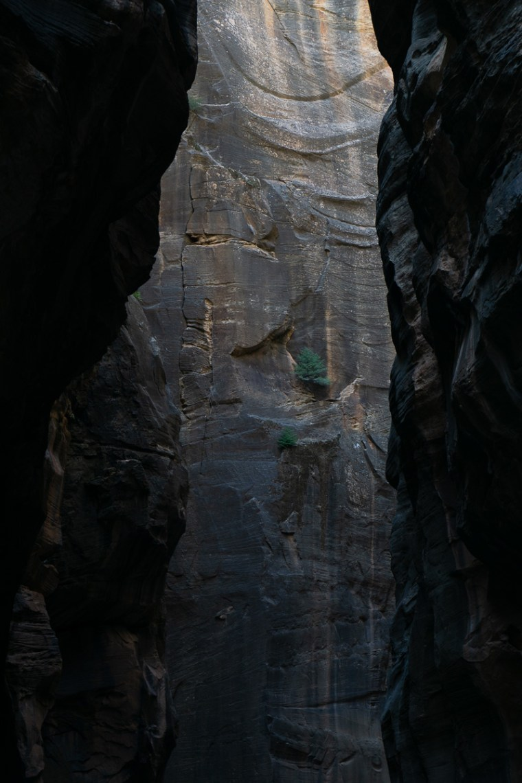 Picture of trees clinging to canyon walls within Zion Narrows - Zion National Park