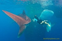 Swimming with two whale sharks near Nabire, Papua