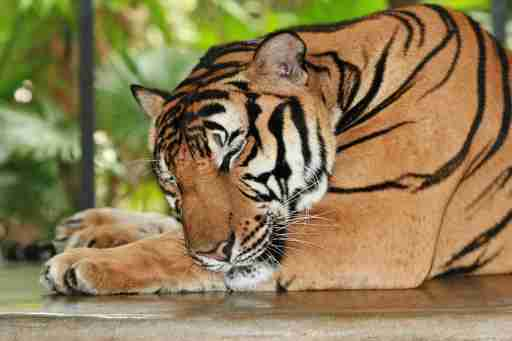 Picture of a tiger sleeping.