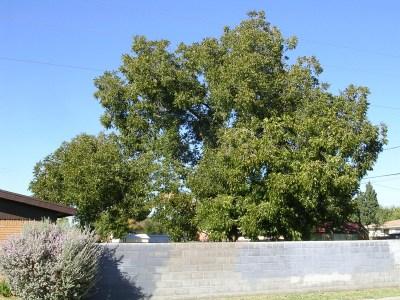 ohn Garner variety pecan tree