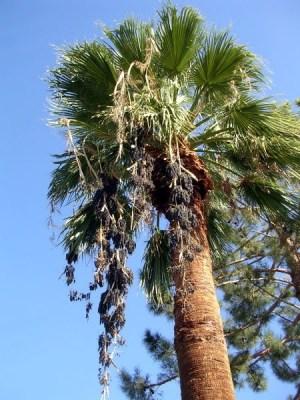 Palm Springs palm