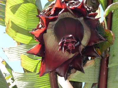 """banana"" inflorescence closeup"