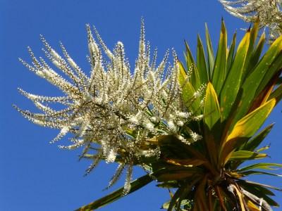 tree yucca flowers