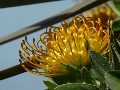 yellow Leucospermum on Castro Street