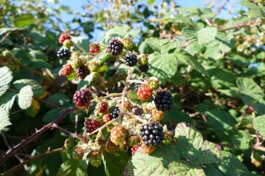 Petaluma River blackberries