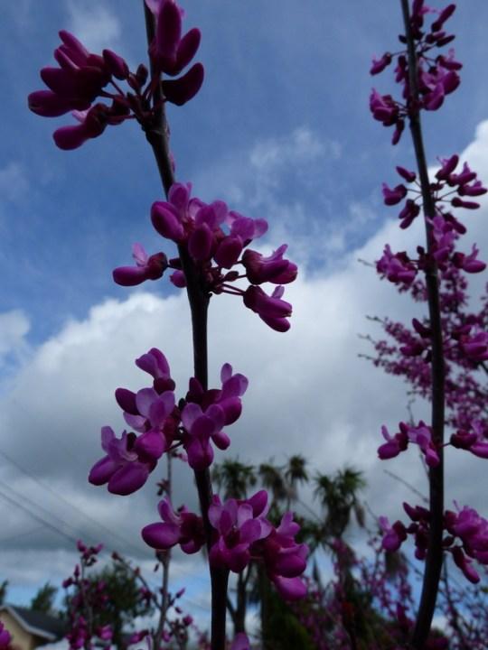 springtime in Petaluma