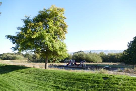 Quercus kelloggii?