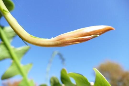 Epiphyllum anguliger bud