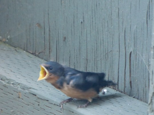 barn swallow chick