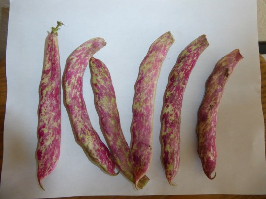 Cranberry beans newer (Crimson?) variety