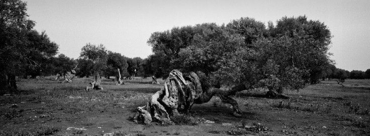 An age-old olive tree on the Curti Russi estate, along the provincial road to Veglie. Nardò (Lecce), Italy 2016. © Matteo Bastianelli
