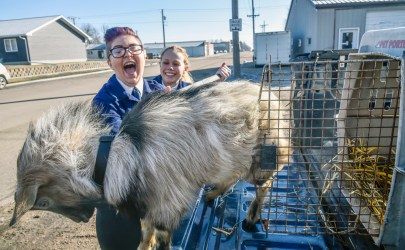 "McCook Central senior Anne Mayrose, left, reacts after saying she got some of the goats hair in her mouth while she and senior Cara Rabenhorst try to get the goat the students nicknamed ""Gilbert"" into the kennel while taking the goat to various business in Salem as part of their ""Get the Goat"" fundraiser on Wednesday morning as part of the McCook Central school's FFA activities as part of National FFA Week. (Matt Gade/Republic)"