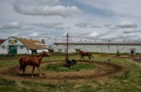 Horses walk around as they cool down after their races in corrals setup south of the grandstands during the Pari-Mutual Horse Races at the Brown County Fairgrounds on Sunday in Aberdeen.