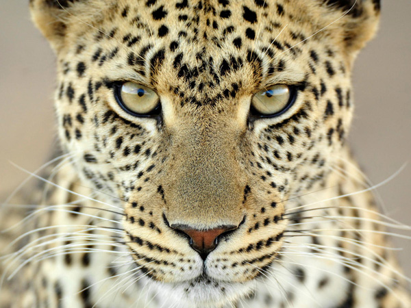 Leopard_to-skin-cat-documen