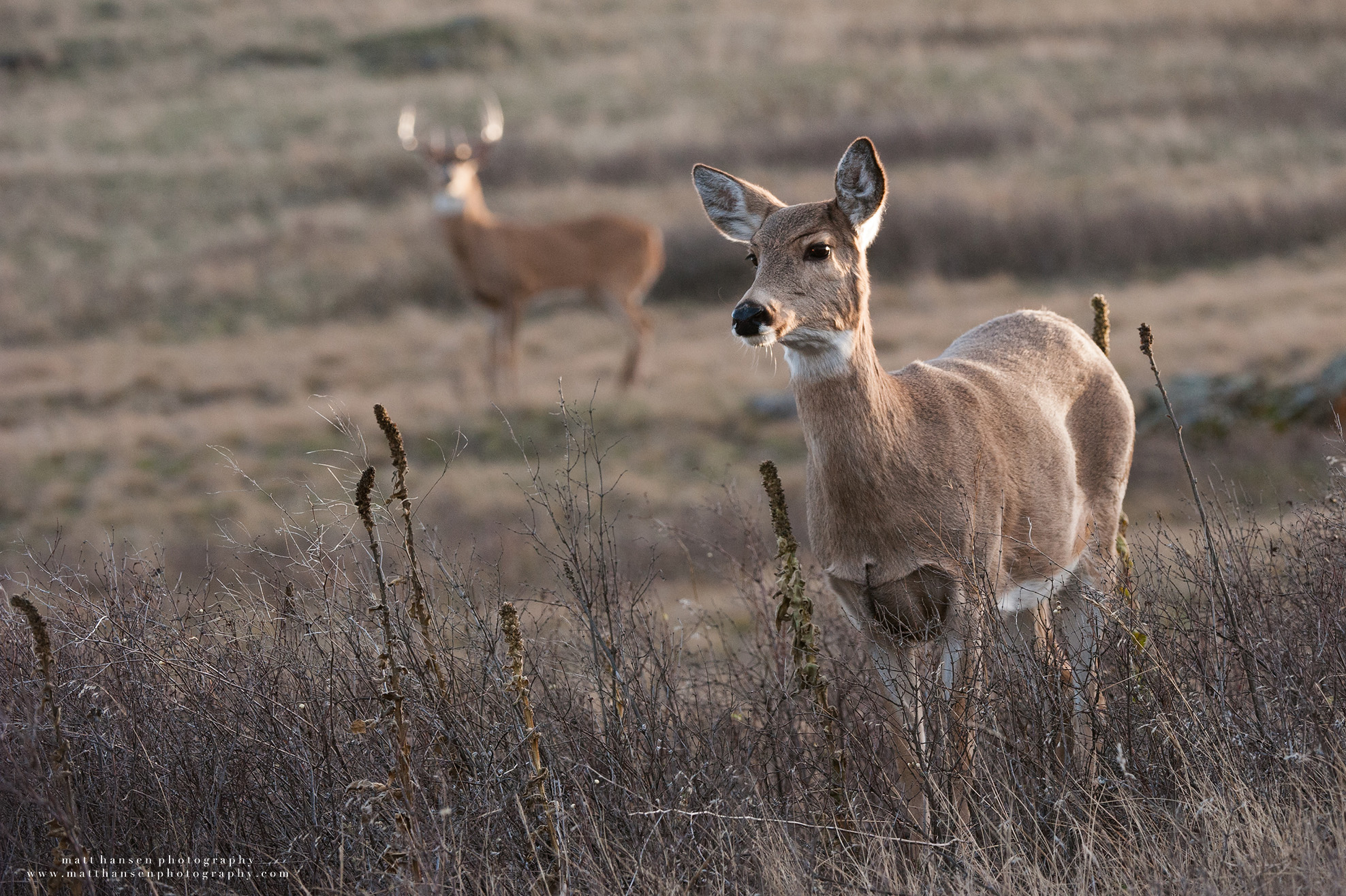 Professional Whitetail Deer Photography