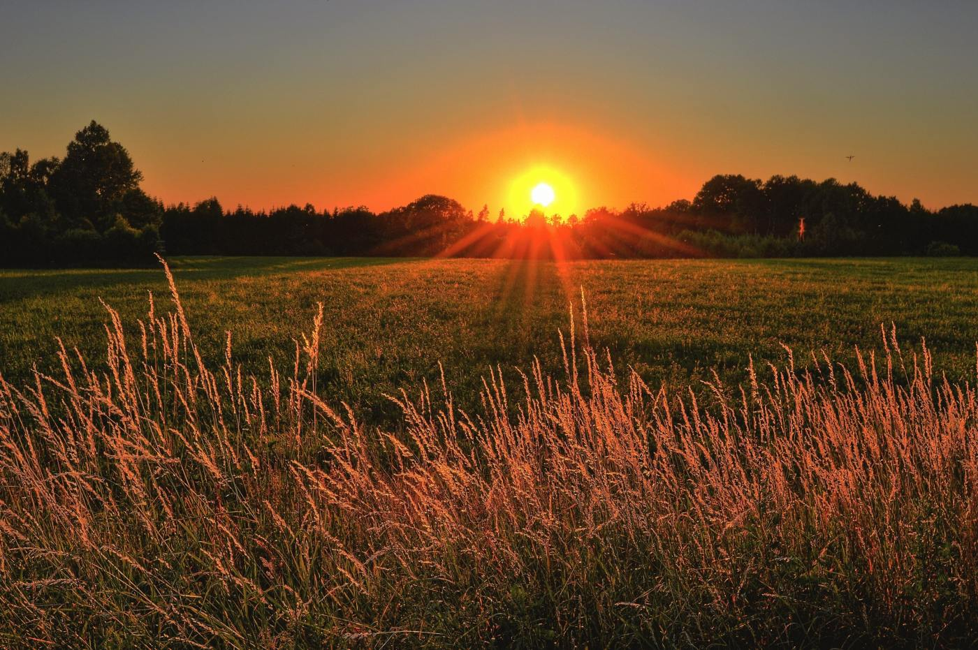 Sun rising over a field of grass wheat.