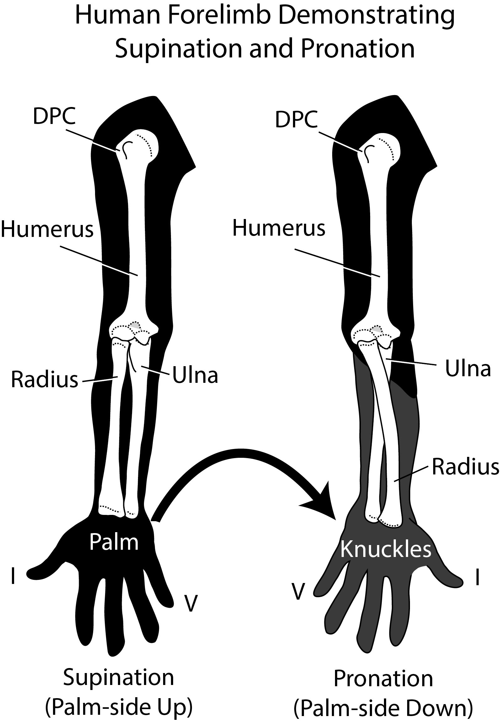 Dinosaur Hand And Forelimb Posture Might Have Been More