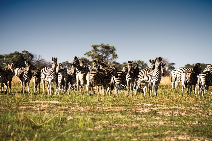 a row of zebra stand in a field in the Okavango delta